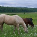 Growing Up Guest Ranch Horses in the Field