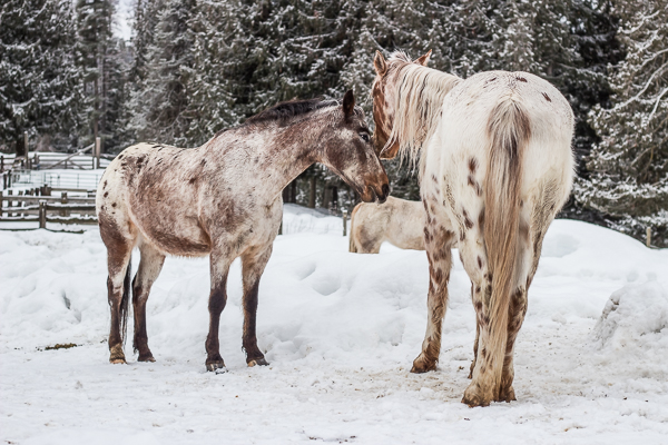 Appaloosa in the snow