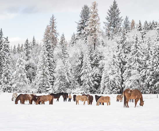 Ranch Horses in the snow