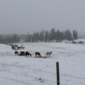 This is the horses out in the field the day before we ran them in for the winter.