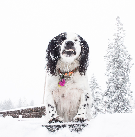 English Setter in the snow