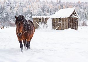 Draft Horse in the snow