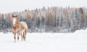 Appaloosa in a winter wonderland