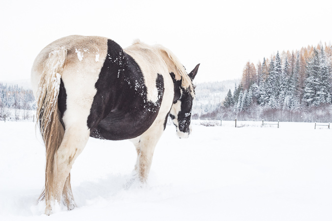 Gypsy Horse in the snow