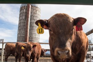 Red Angus Bull Sale