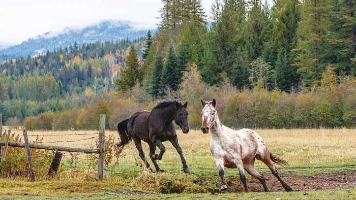 Two horses running in the field