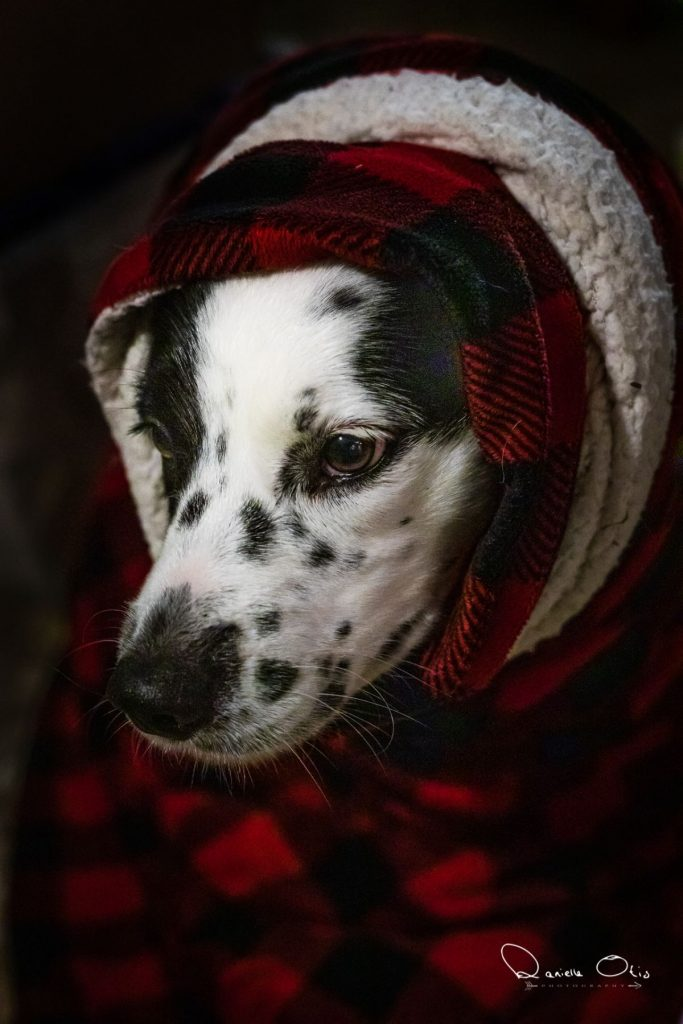 Black and white spotted dog wrapped in a blanket